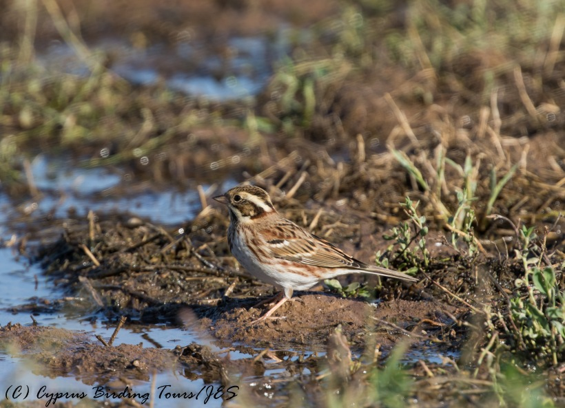 Rustic Bunting, Paphos Sewage Works 24th November 2016 (c) Cyprus Birding Tours