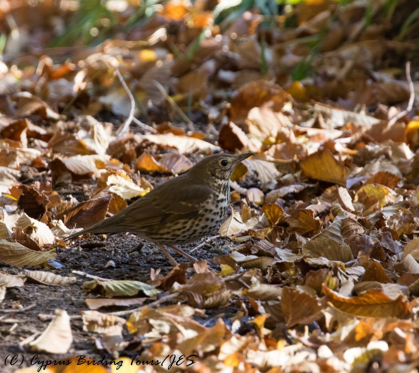 Song Thrush, Troodos 25th November 2016 (c) Cyprus Birding Tours