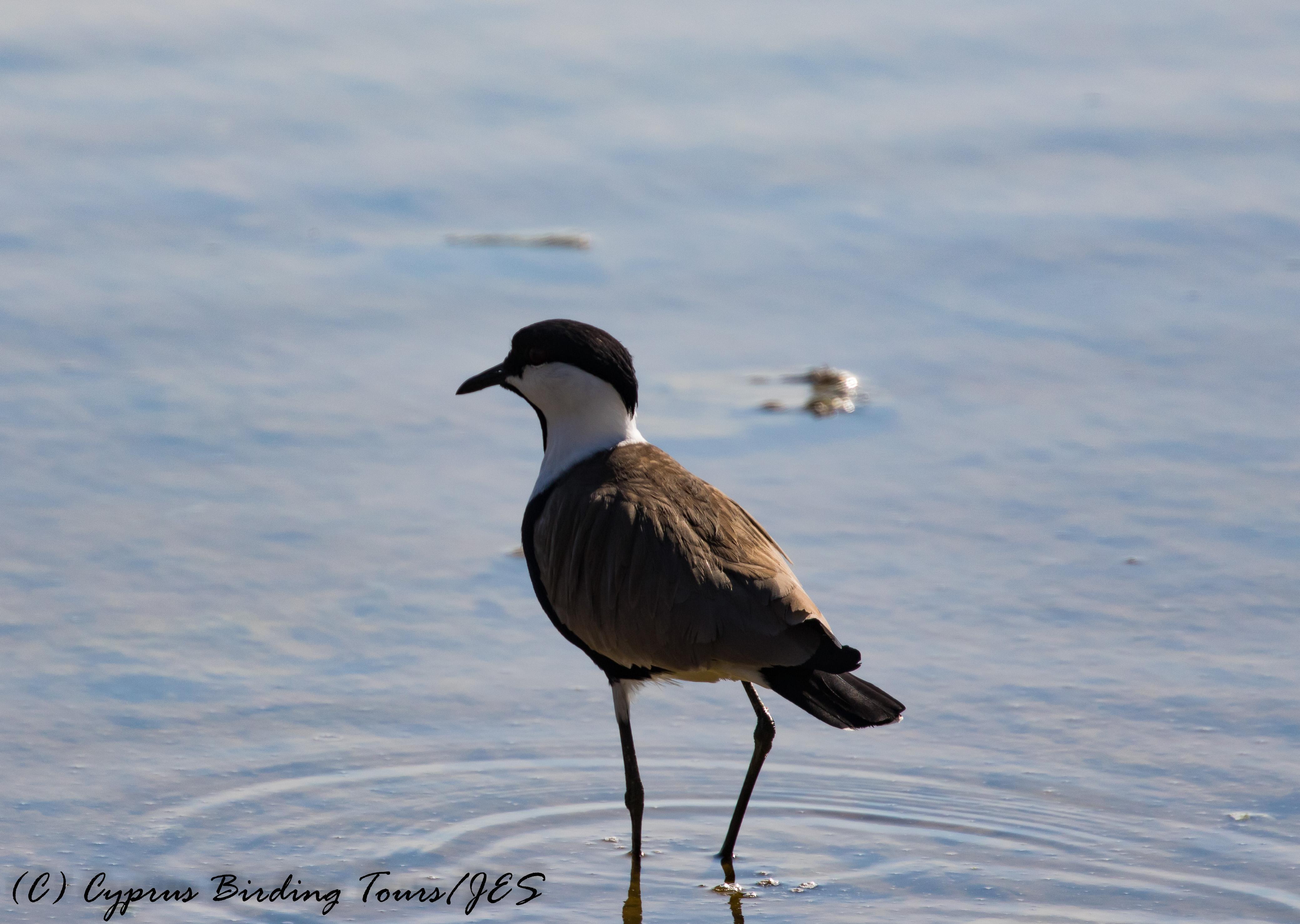 Spur-winged Lapwing, Oroklini Marsh 5th November 2016 (c) Cyprus Birding Tours