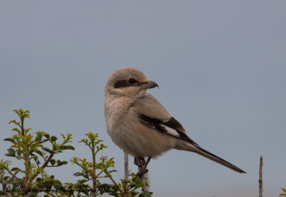 'Steppe' Grey Shrike, Cape Greco 29th November 2016 (c) Cyprus Birding Tours