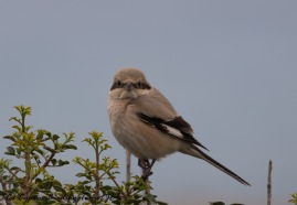 'Steppe' Grey Shrike, Cape Greco 29th November 2016 (c) Cyprus Birding Tours