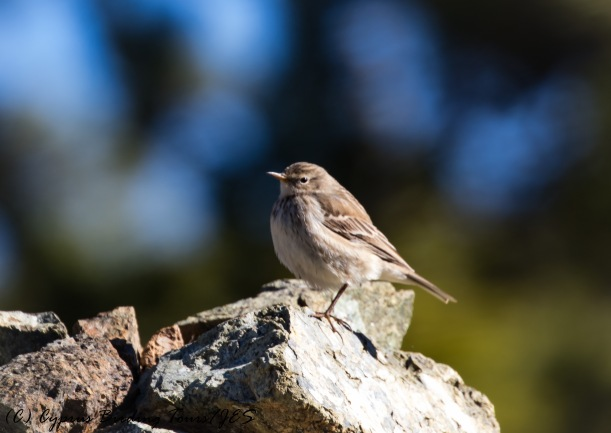 Water Pipit, Troodos 4th November 2016 (c) Cyprus Birding Tours