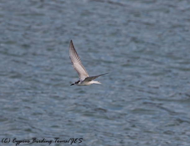Whiskered Tern, Nicosia 15th November 2016 (c) Cyprus Birding Tours