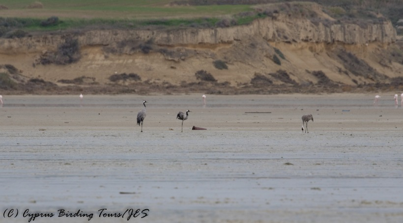 Common Crane, Larnaca Salt Lake 16th December 2016 (c) Cyprus Birding Tours