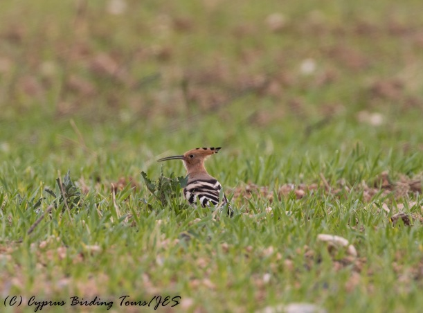 Eurasian Hoopoe, Nicosia, 19th December 2016 (C) Cyprus Birding Tours