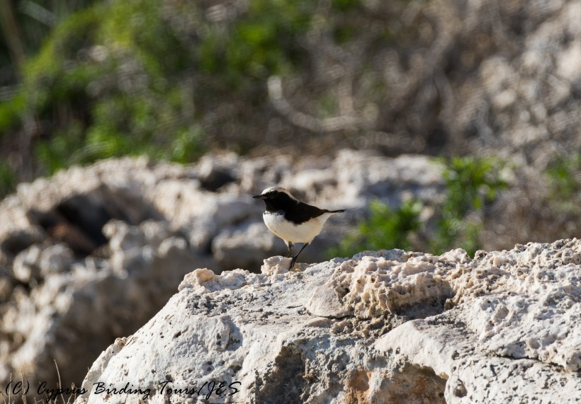 Male Finsch's Wheatear, Cape Greco, 6th December 2016 (c) Cyprus Birding Tours