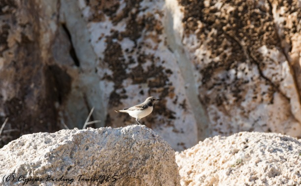 Female Finsch's Wheatear, Cape Greco, 6th December 2016 (c) Cyprus Birding Tours