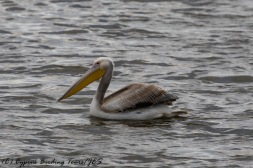 Great White Pelican, Larnaca, 18th December 2016 (c) Cyprus Birding Tours
