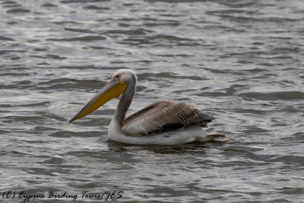 Great White Pelican, Larnaca, 18th December 2016 (c) Cyprus Birding Tours