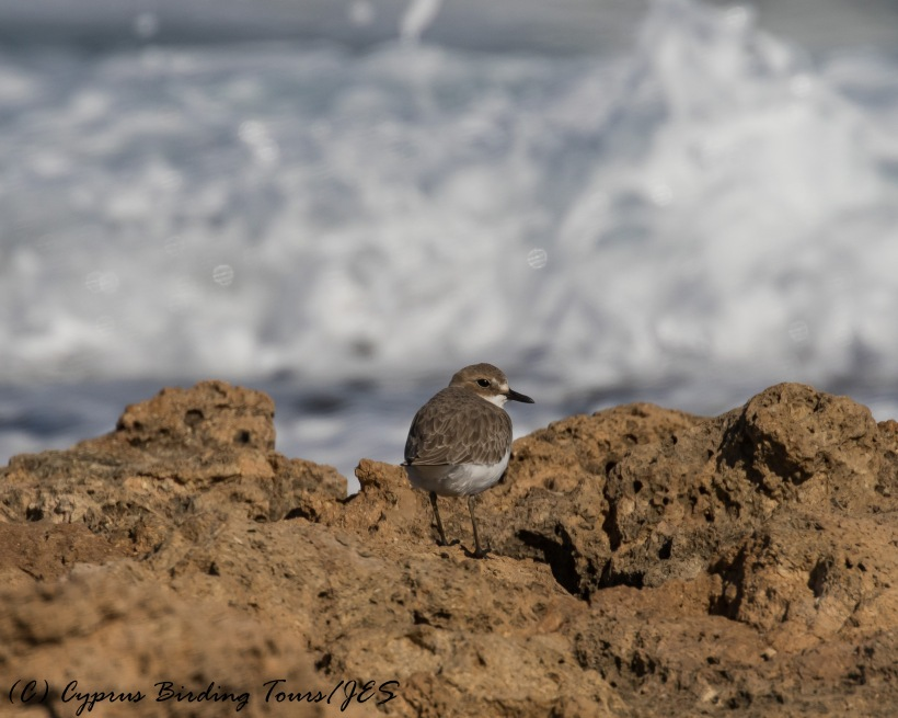 Greater Sand Plover, Agia Trias 6th December 2016 (c) Cyprus Birding Tours
