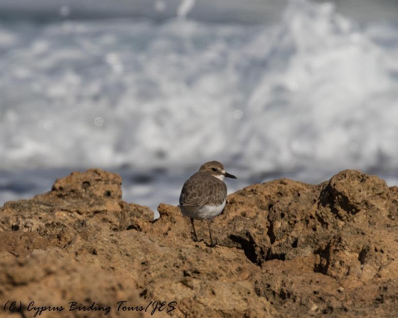 Greater Sand Plover, Agia Trias 6th December 2016 (c) Cyprus Birding Tours