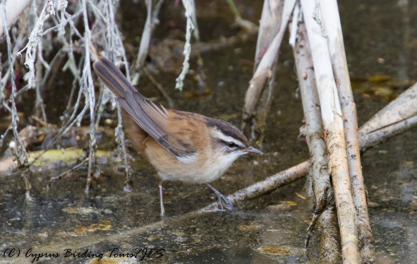 Moustached Warbler, Larnaca Salt Lake 16th December 2016 (c) Cyprus Birding Tours