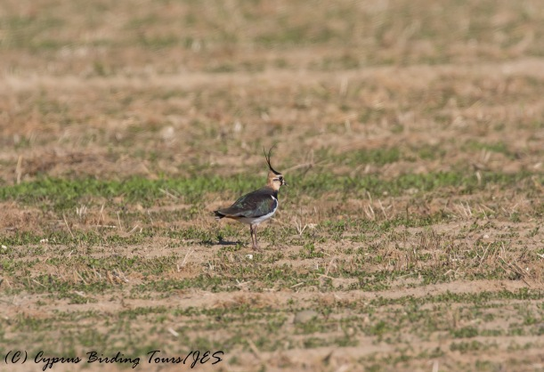 Northern Lapwing, Agios Sozomenos, 10th December 2016 (c) Cyprus Birding Tours
