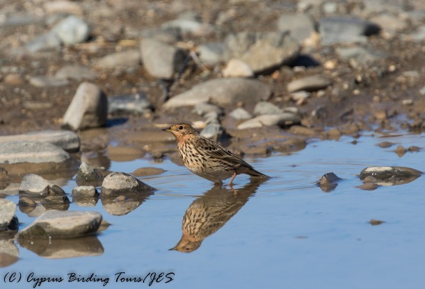 Red-throated Pipit, Agios Sozomenos, 3rd December 2016 (c) Cyprus Birding Tours