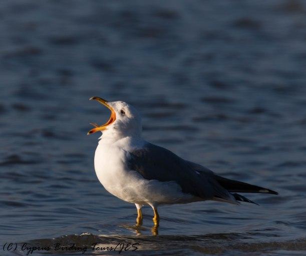 Armenian Gull, Lady's Mile 13th January 2017 (c) Cyprus Birding Tours
