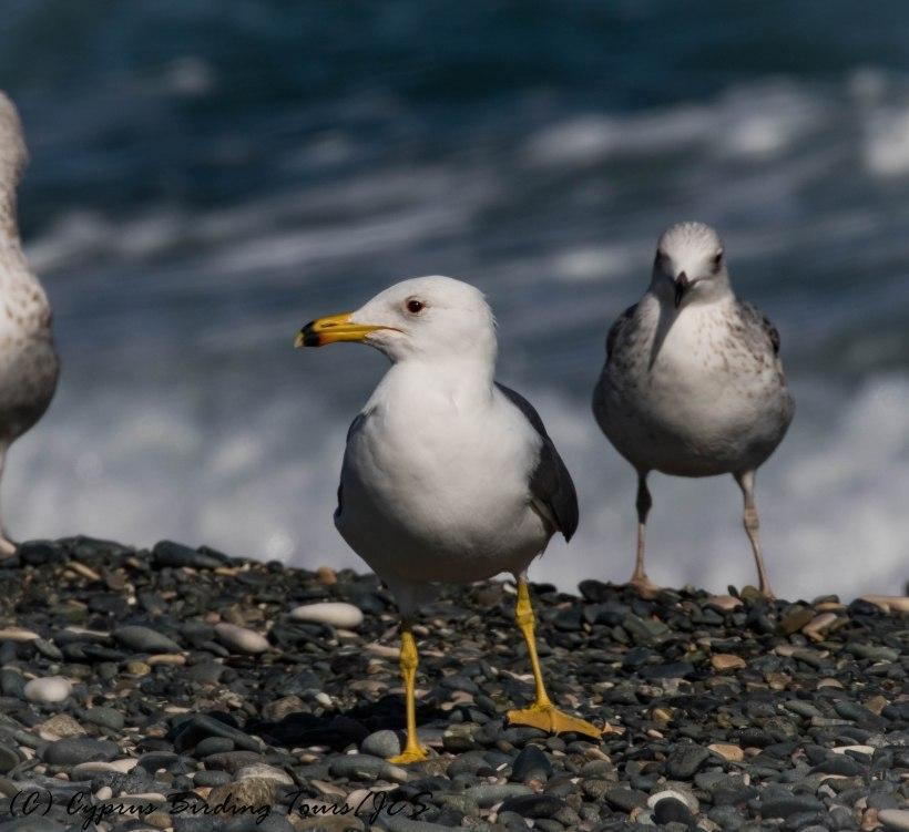 Armenian Gull, Lady's Mile 25th January 2017 (c) Cyprus Birding Tours