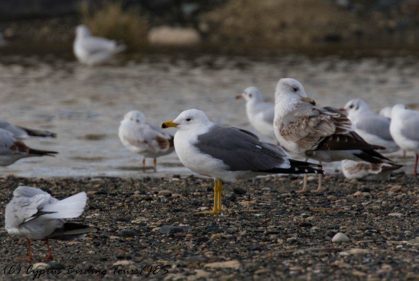 Adult Armenian Gull, Lady's Mile 5th January 2017 (c) Cyprus Birding Tours
