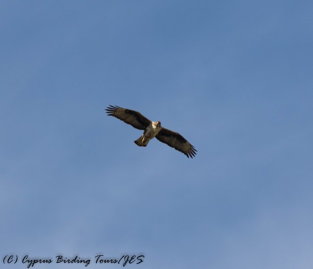 Bonelli's Eagle, Agios Sozomenos 17th January 2017 (c) Cyprus Birding Tours