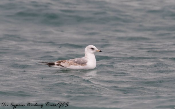 Common Gull, Lady's Mile 8th January 2017 (c) Cyprus Birding Tours
