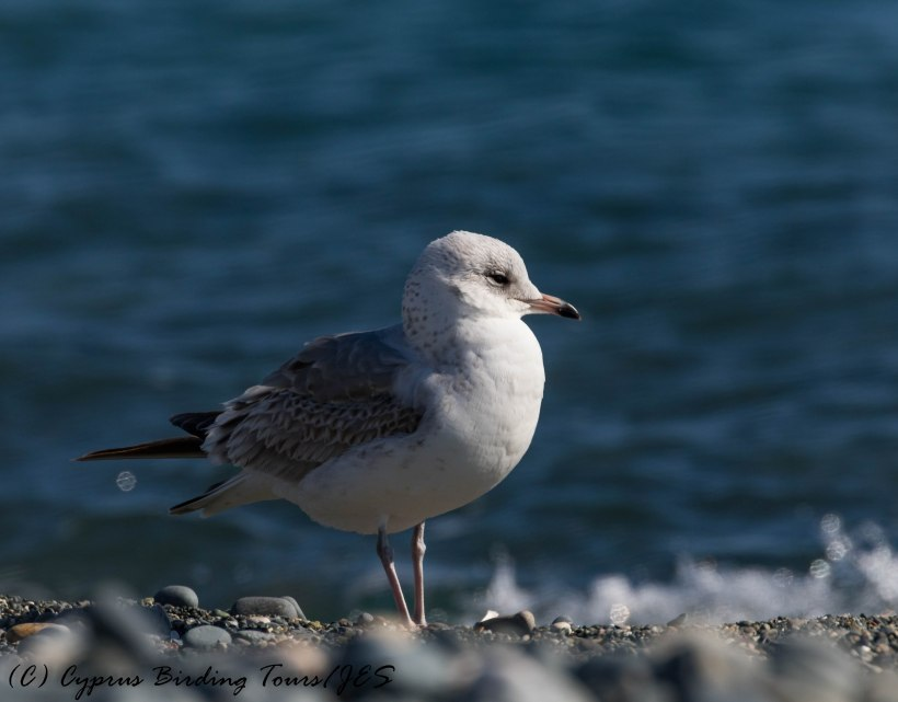 Common Gull, Lady's Mile 13th January 2017 (c) Cyprus Birding Tours