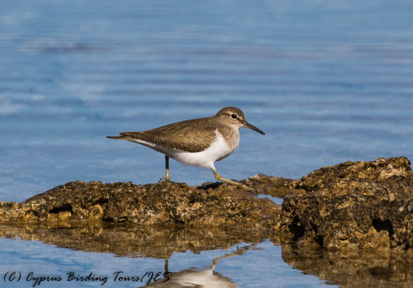 Common Sandpiper, Agia Trias, 11th January 2017 (c) Cyprus Birding Tours