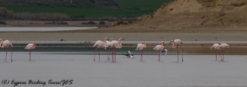 Greater Flamingo and a Great Black-backed Gull, Larnaca Salt Lake, 14th January 2017 (c) Cyprus Birding Tours