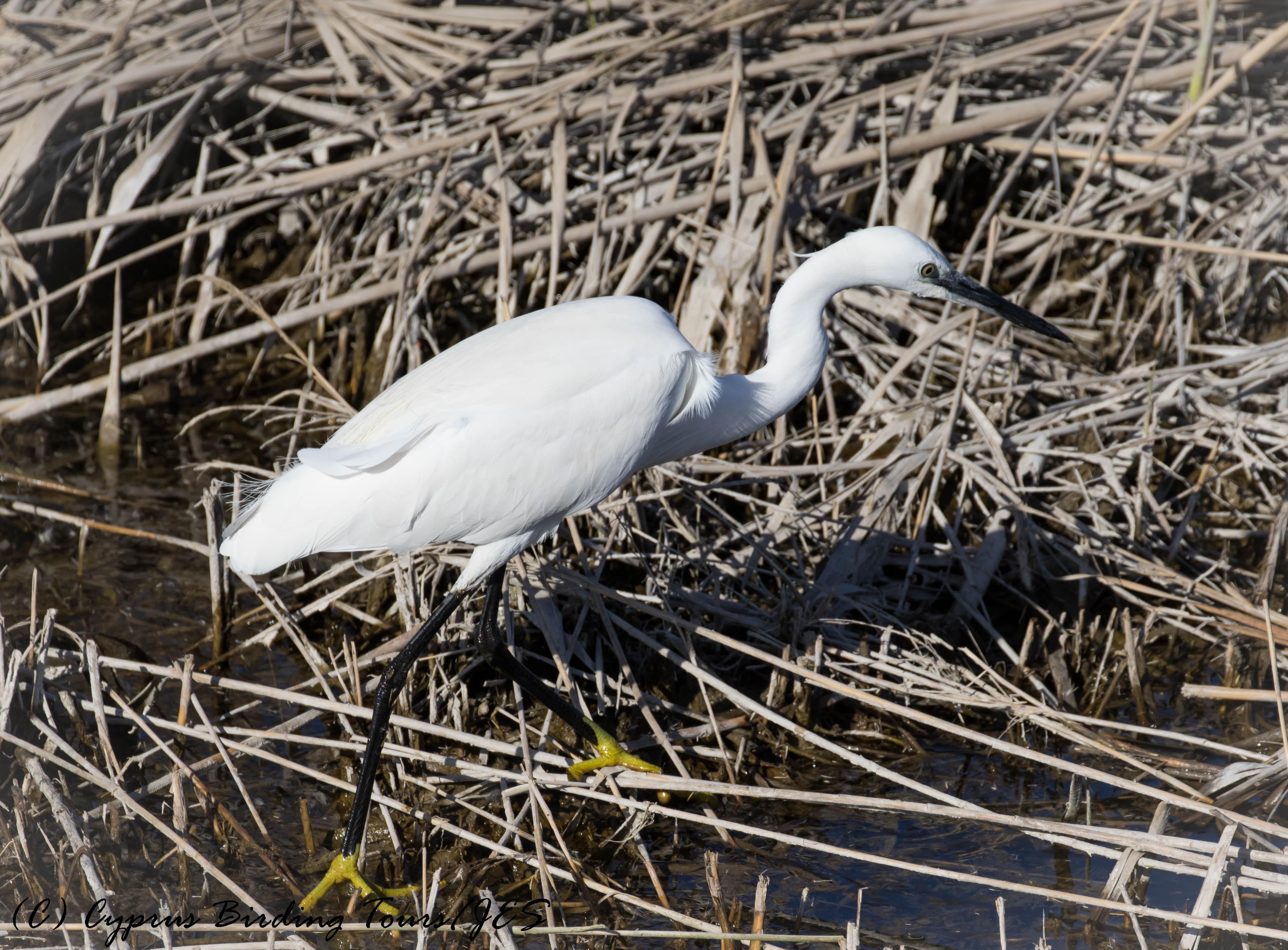 Little Egret, Zakaki Marsh, 25th January 2017 (c) Cyprus Birding Tours