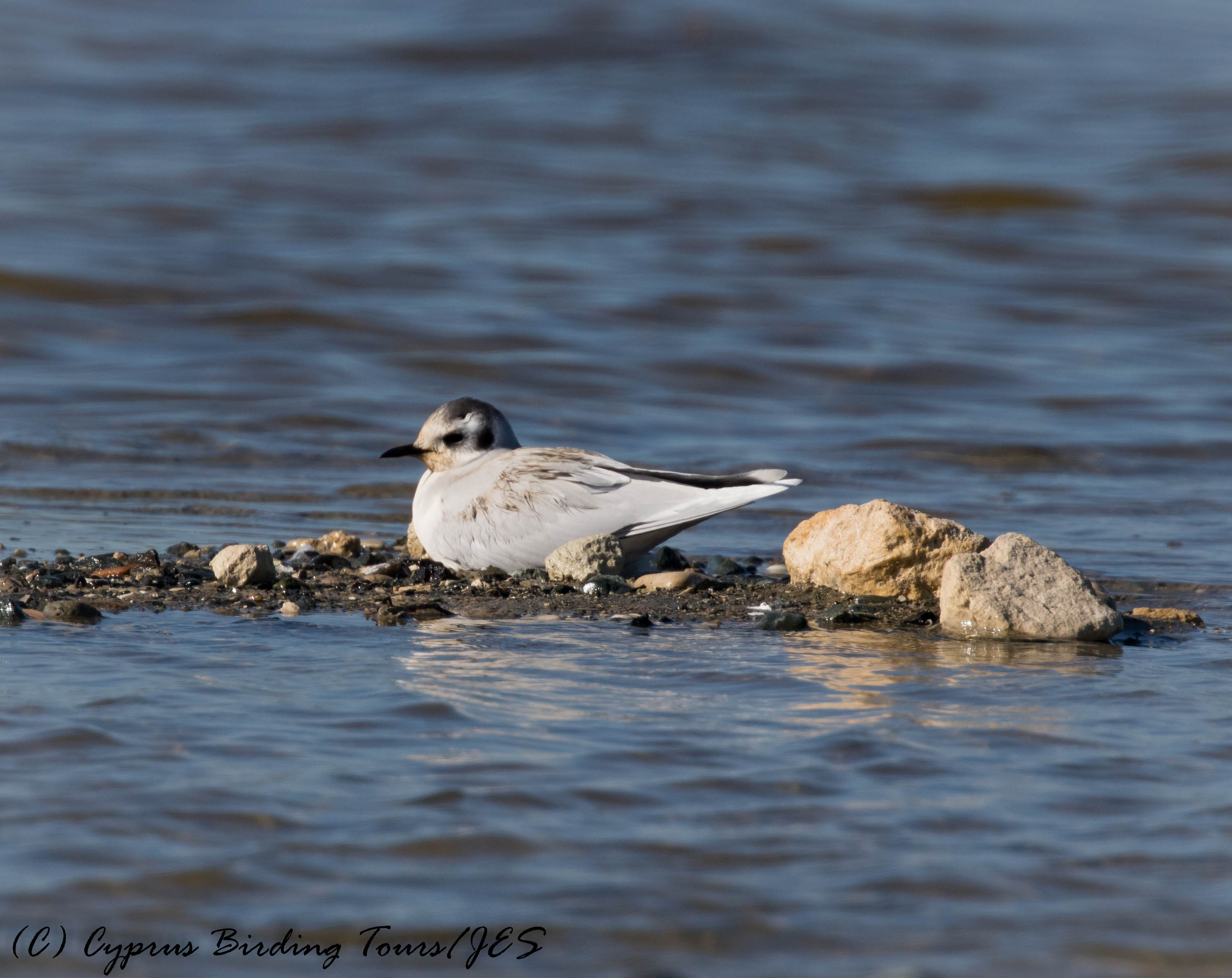 Little Gull, Lady's Mile 13th January 2017 (c) Cyprus Birding Tours