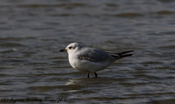 First winter Mediterranean Gull, Lady's Mile 5th January 2017 (c) Cyprus Birding Tours