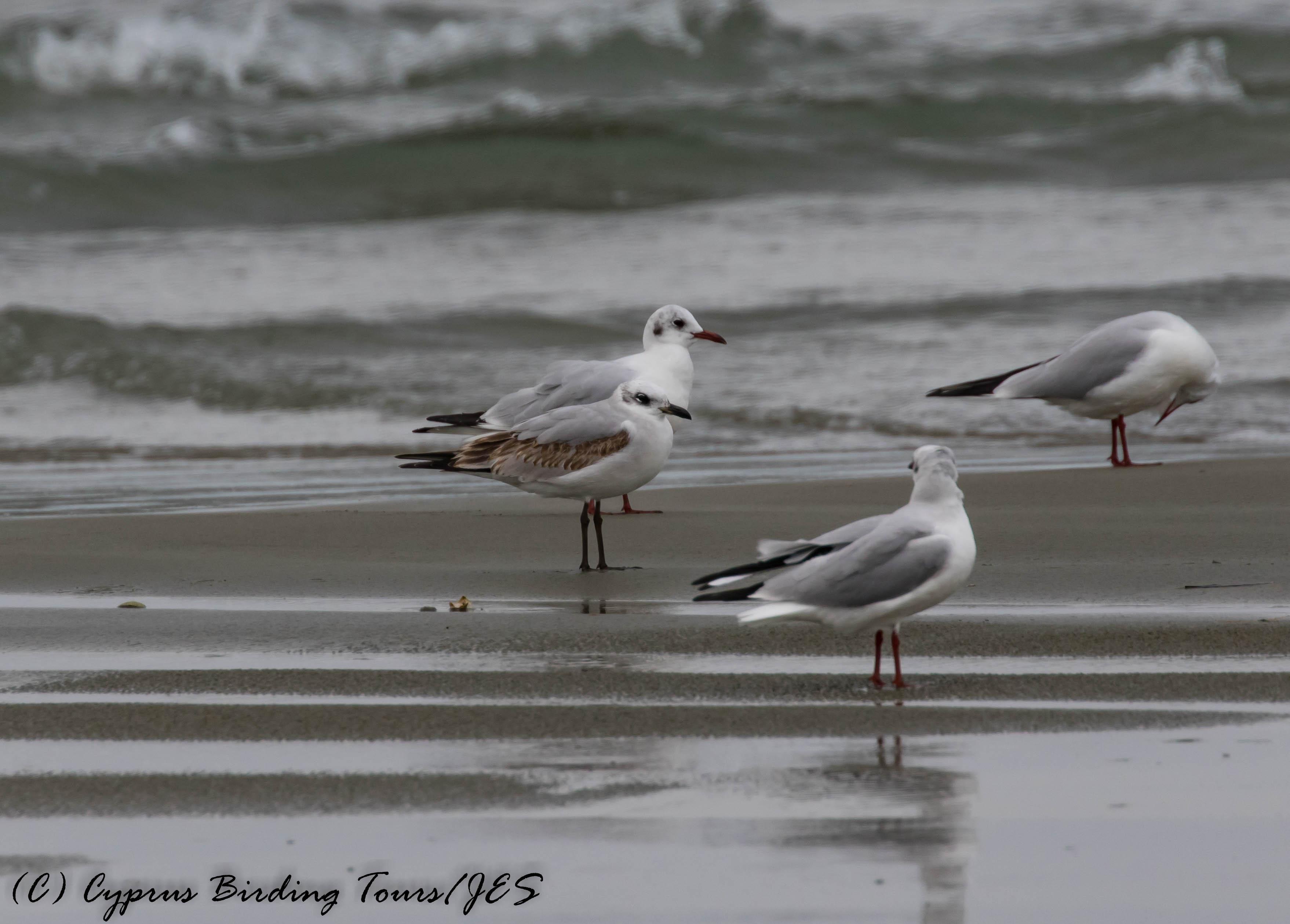 Mediterranean Gull, 1st winter, Oroklini Beach 8th January 2017 (c) Cyprus Birding Tours