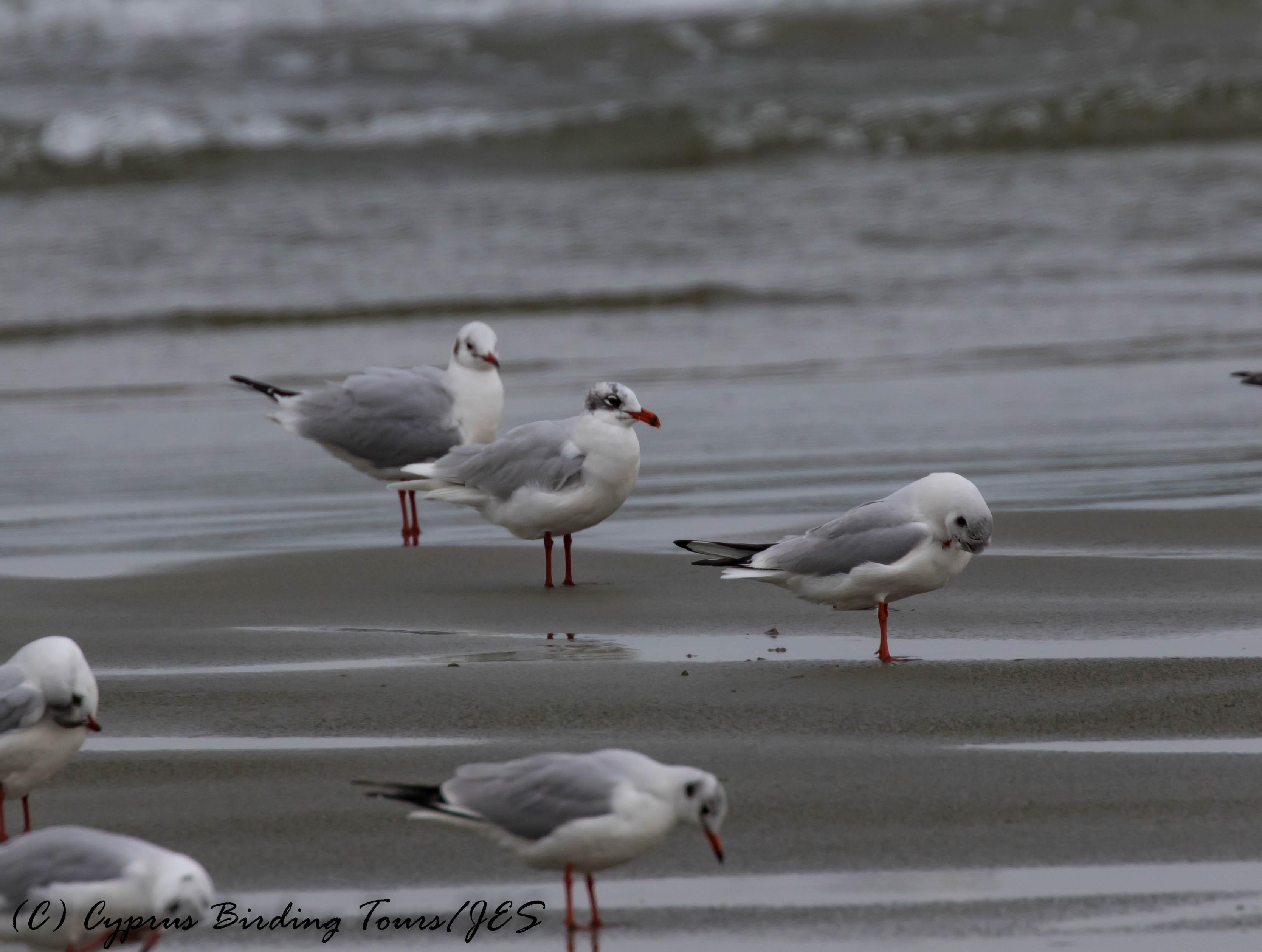 Mediterranean Gull, adult, Oroklini Beach 8th January 2017 (c) Cyprus Birding Tours