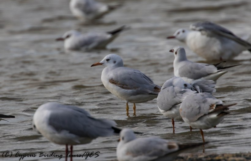 First-winter Slender-billed Gull, Lady's Mile 5th January 2017 (c) Cyprus Birding Tours