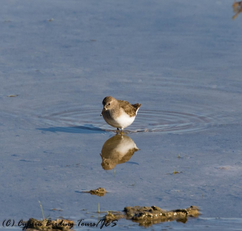 Temminck's Stint, Leivadia, 28th January 2017 (c) Cyprus Birding Tours