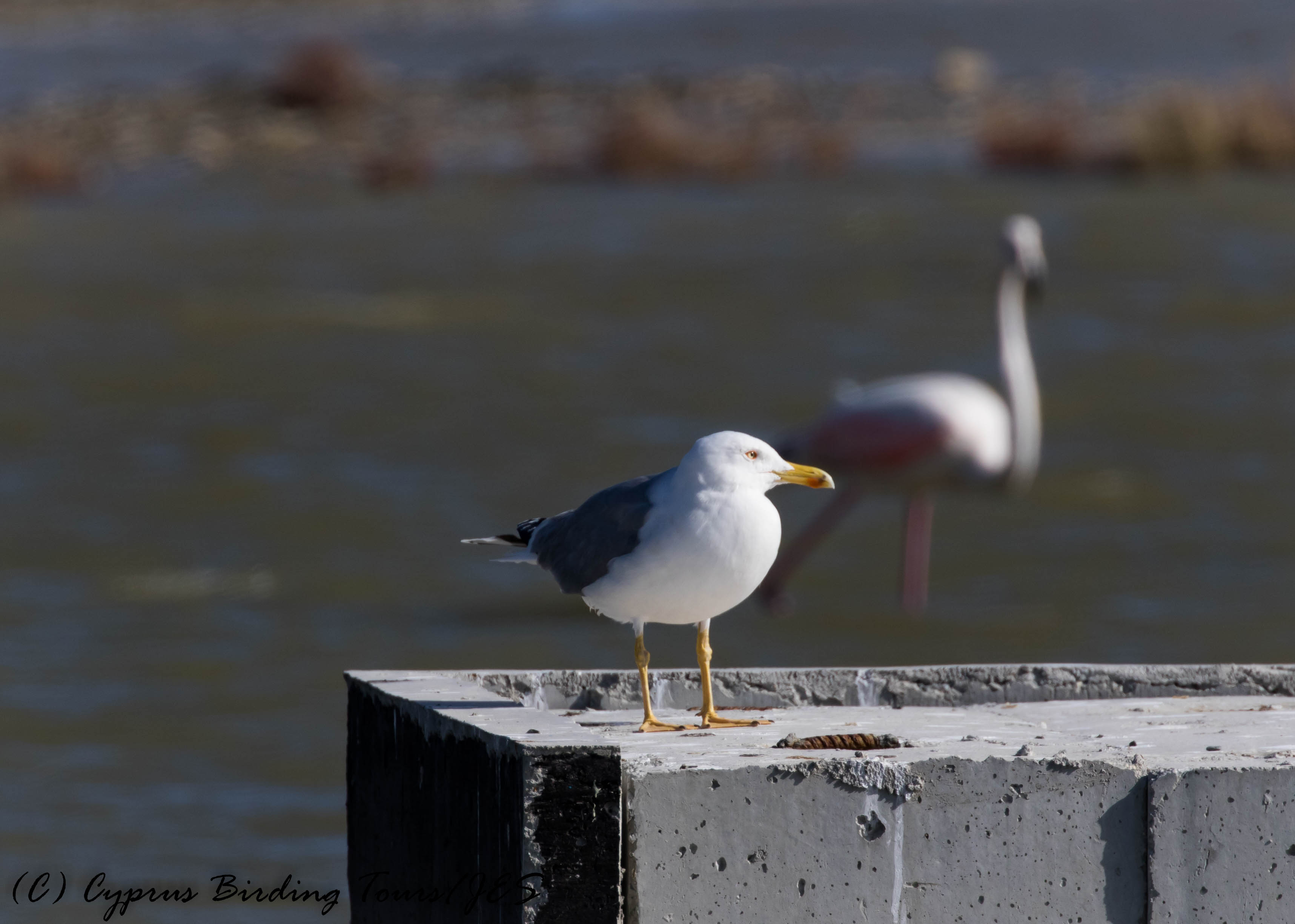 Yellow-legged Gull, Lady's Mile 25th January 2017 (c) Cyprus Birding Tours