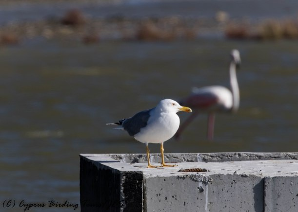 Yellow-legged Gull, Lady's Mile 25th January 2017 (c) Cyprus Birding Tours
