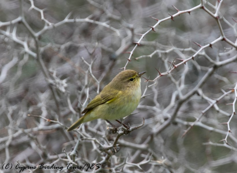 Common Chiffchaff, Agios Sozomenos 6th February 2017 (c) Cyprus Birding Tours