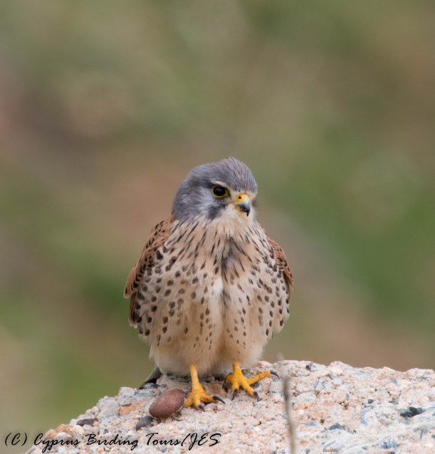 Common Kestrel, Anarita Mast, 31st January 2017 (c) Cyprus Birding Tours