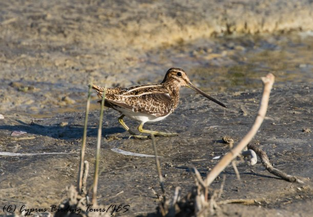Common Snipe, Larnaca Salt Lake 3rd February 2017 (c) Cyprus Birding Tours