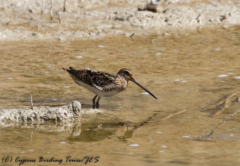 Common Snipe, Larnaca Salt Lake 26th February 2017 (c) Cyprus Birding Tours