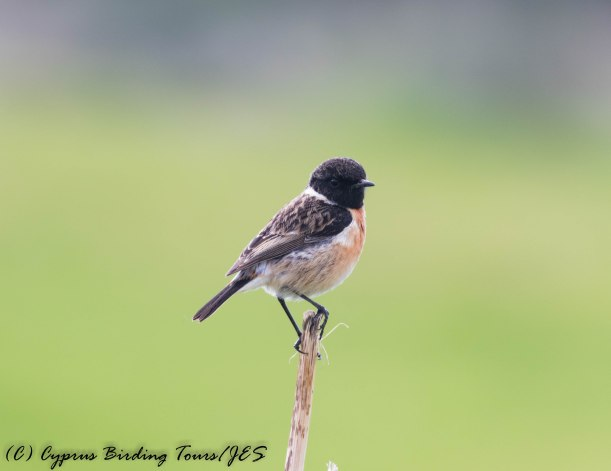 Common Stonechat, Anarita Mast 31st January 2017 (c) Cyprus Birding Tours