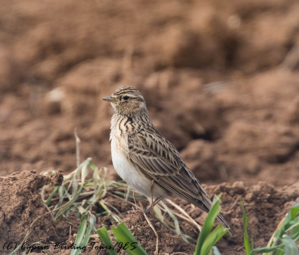 Eurasian Skylark, Mandria, 31st January 2017 (c) Cyprus Birding Tours