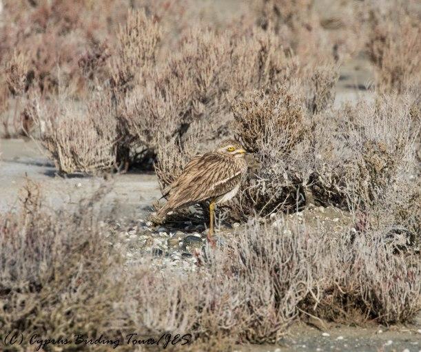 Eurasian Stone Curlew 4, Larnaca Salt Lake, 26th February 2017 (c) Cyprus Birding Tours