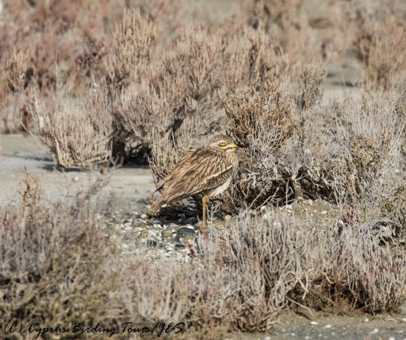 Eurasian Stone Curlew 4, Larnaca Salt Lake, 26th February 2017 (c) Cyprus Birding Tours