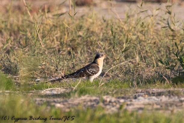 Great Spotted Cuckoo, Larnaca Salt Lake 3rd February 2017 (c) Cyprus Birding Tours
