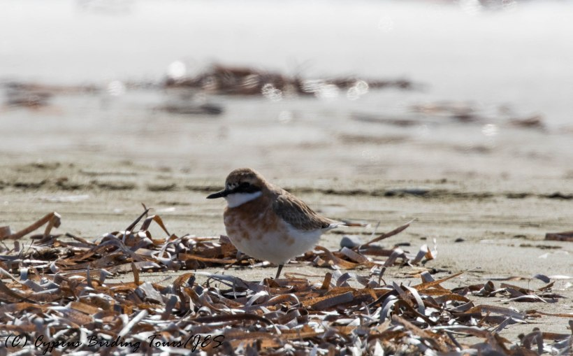 Greater Sand Plover, Meneou Beach, 26th February 2017 (c) Cyprus Birding Tours