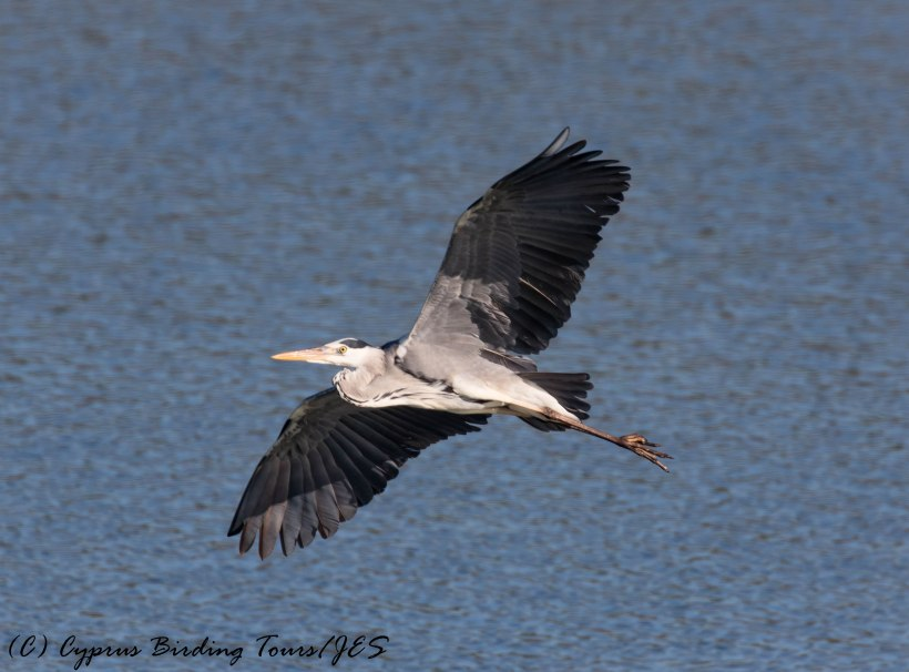 Grey Heron, Manglis Lake 2nd February 2017 (c) Cyprus Birding Tours