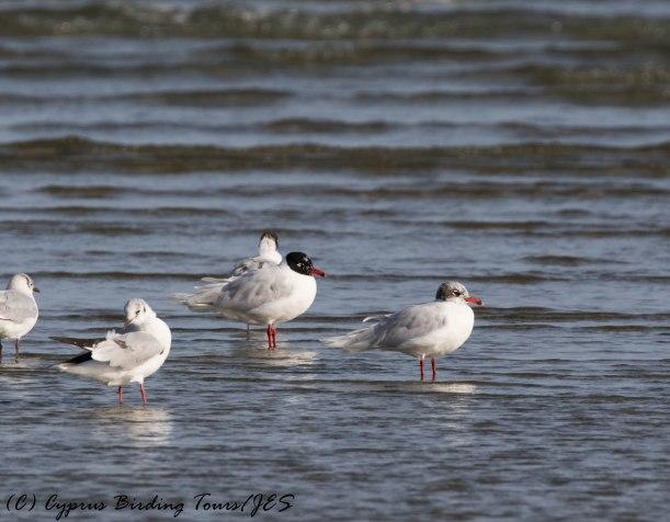Mediterranean Gulls, Oroklini Beach, 26th February 2017 (c) Cyprus Birding Tours