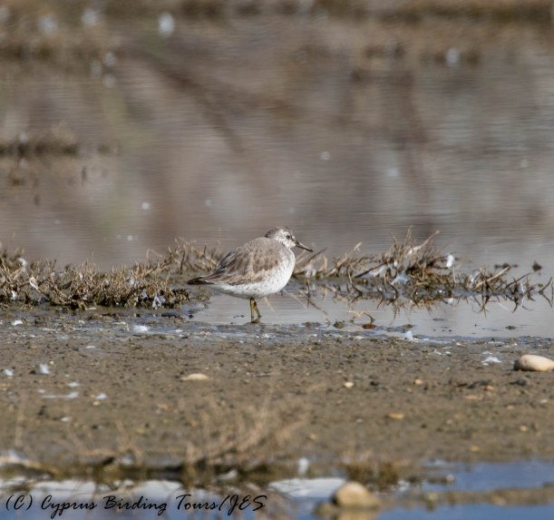 Red Knot, Zakaki, 31st January 2017 (c) Cyprus Birding Tours