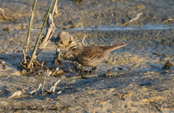 Water Pipit (coutelli race), Larnaca Salt Lake, 3rd February 2017 (c) Cyprus Birding Tours