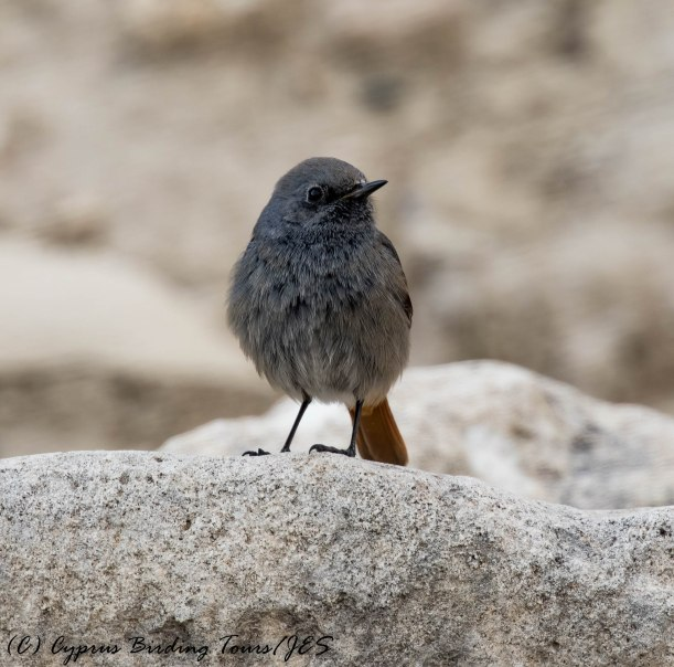 Western Black Redstart, Amathus Archaeological Site, 5th February 2017 (c) Cyprus Birding Tours